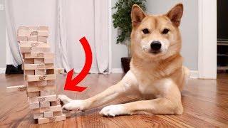 まさかのハイセンス!!ジェンガに挑戦する柴犬さん