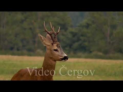 Silný srnec - video Čergov