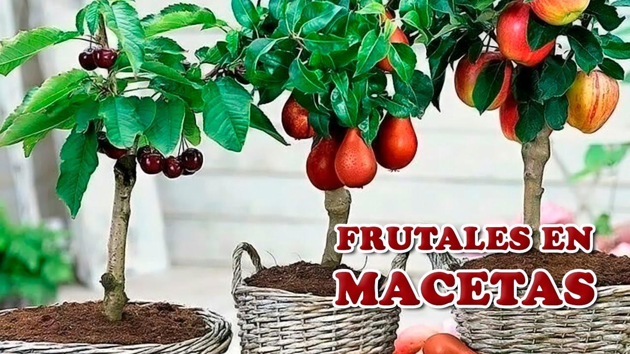 cuidados clave para cultivar rboles frutales en maceta cuidando el jardn youtube