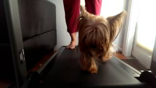 Nyssa (yorkshire Terrier)  Running On Treadmill !!!