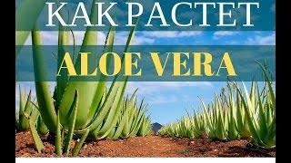 aLOE VERA алое алоэ купить алое Плантации Aloe Vera America