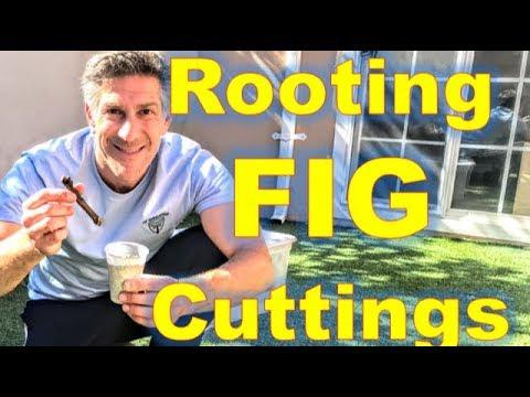 Fig Cutting Demos -- 97 FREE Cuttings Mailed 2/8 @ 2PM