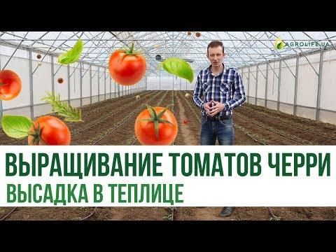 Выращивание томатов черри: высадка в теплице (часть 1)   Agrolife.ua