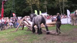 Belgian Draft Horses: horse logging and agility contest