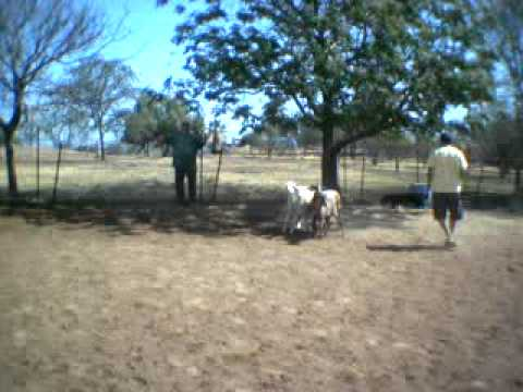 Download Keeper The Border Collie Herding Sheep 04/19/09