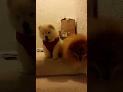 Chow chow puppy and pomeranian brothers