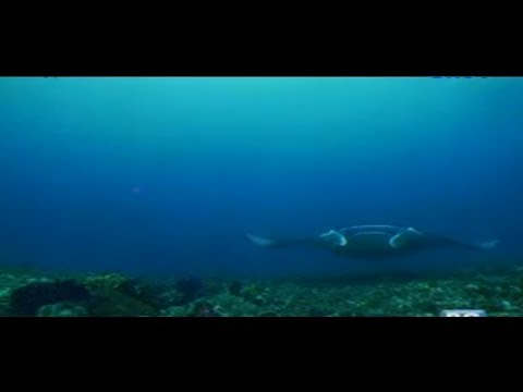 Born to be Wild: Rare footage of migratory rays