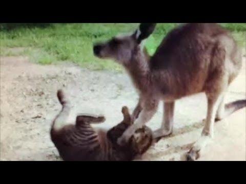 Why Kangaroos don't make good Pets, review of Kangaroo and cat video