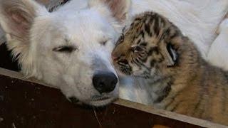 Kaplan yavrularına köpek 'süt annesi'