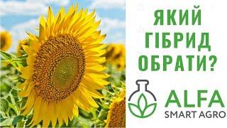 Alfa Smart Agro | Який гібрид соняшника обрати?