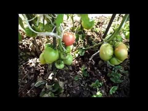 Купить семена томатов Семена почтой и курьером