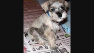 Miniature Schnauzer Puppies, Jacksonville, Florida
