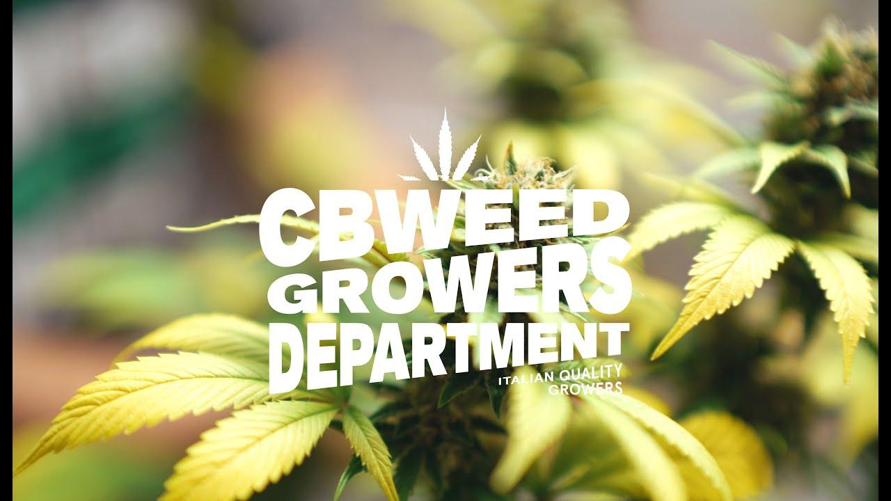 Come Seccare Le Piante come seccare una pianta di cannabis - cbweed