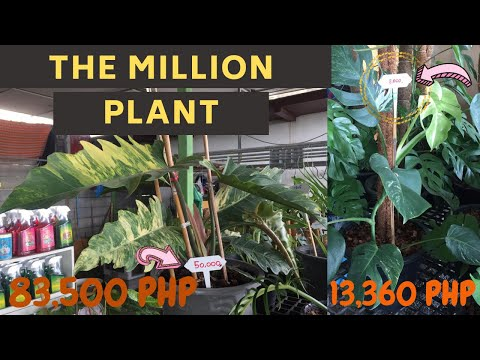 MOST EXPENSIVE PLANT 2 || PLANT PRICES || MORE MONSTERA VARITIES