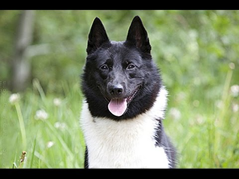 Russian European Laika / Dog Breed