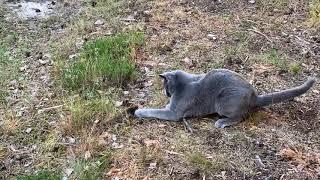 20200609 Caspian, a Russian blue cat, hunting mice