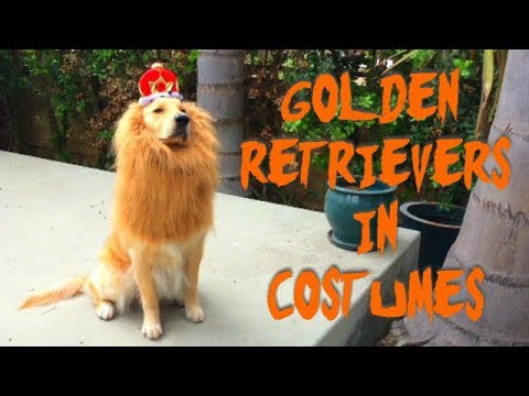 golden retrievers in halloween costumes