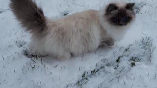 Let it snow ☆ cute ragdoll catt ! I love cats! So funny