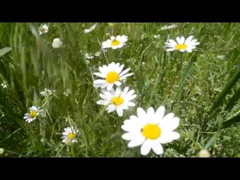 ФУТАЖ Поле с ромашками Ромашки цветут