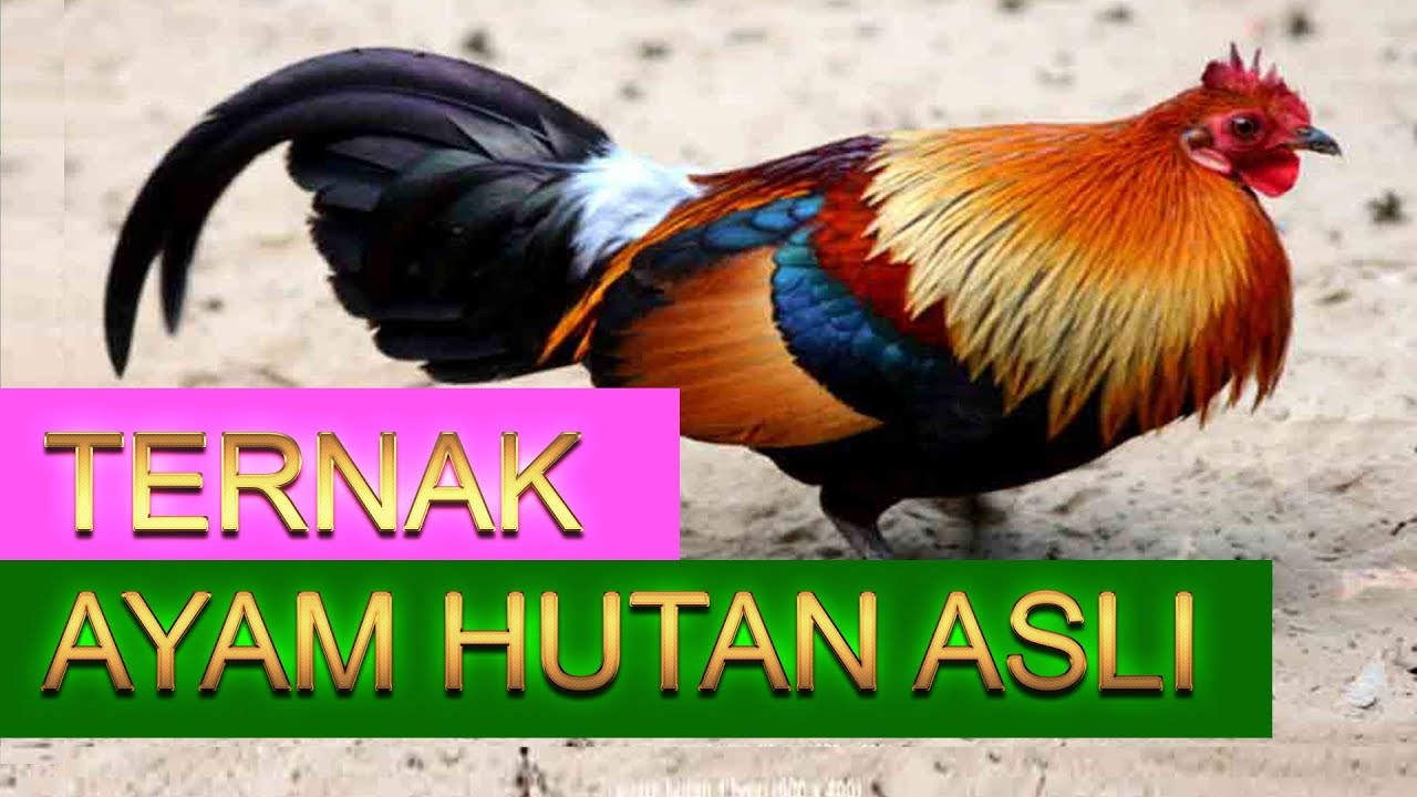 Penternakan Ayam Hutan Skala Besar 1 Di Malaysia Youtube