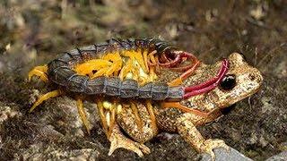 Centipede es demasiado fuerte _ The inesperado, batalla de Ciempiés vs Sapo