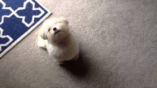 "Obi The Maltese- ""be Quiet"" Command"