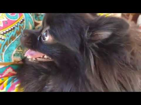 GЕTTING ACQUAINTED WITH GERMAN SPITZ AND POMERANIAN