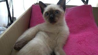 シャム子猫が寛ぎ中に、外出しようとしたら鳴きながら引止められ😓😺🐾 thumbnail