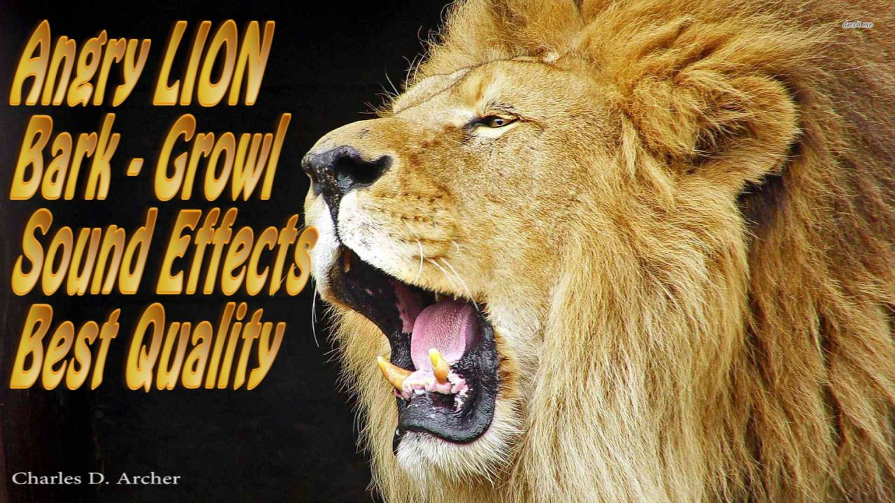 Angry LION Bark Angry LION Growl Sound Effects (Best ... - photo#13