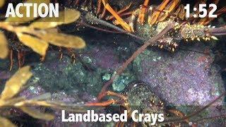Landbased Crays