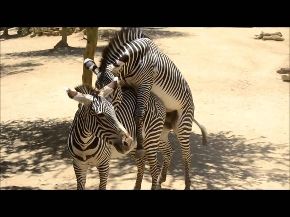 Zebras mating - photo#33