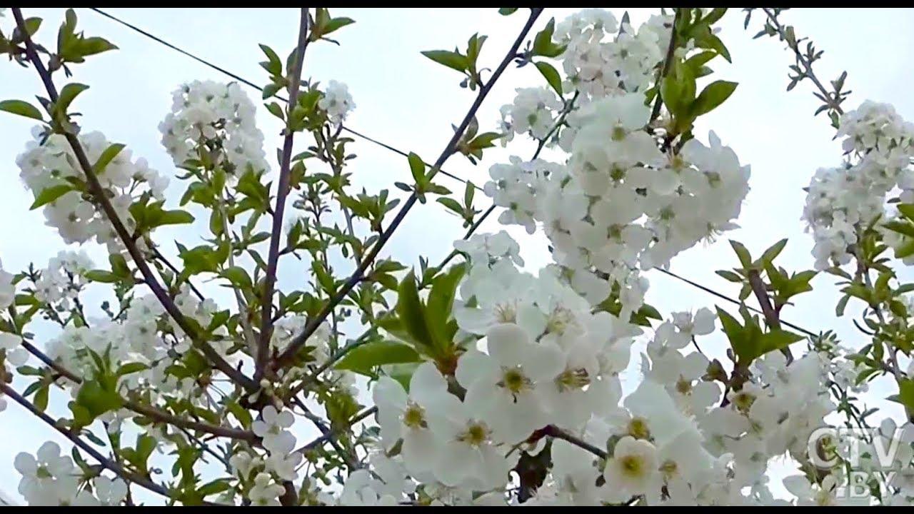 Обработка вишни весной. Эффективная защита от болезней и вредителей!