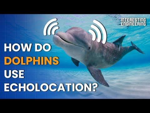 How Do Dolphins Use Echolocation To Navigate The Deep Seas?