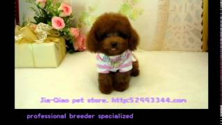 Teacup Poodle 792   Tiny Toy Poodle Teacup Poodle Pocket Teacup Poodle