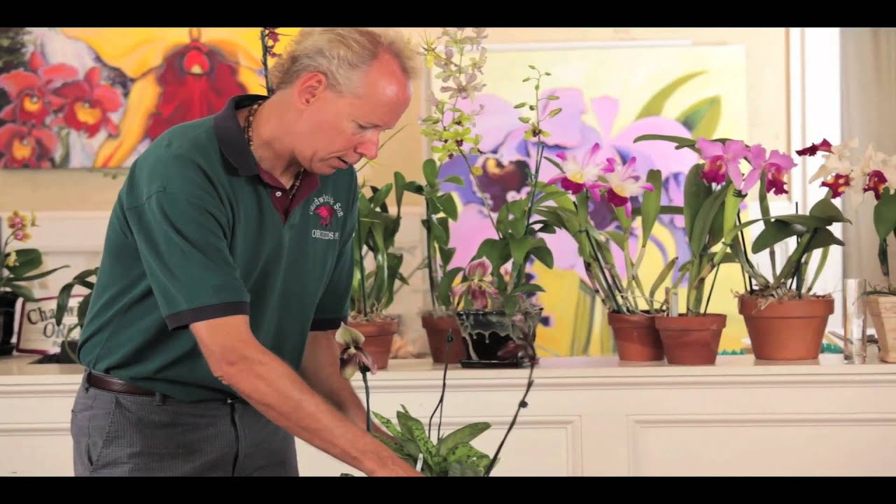 Paphiopedilum Orchid Care Youtube