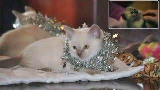 Burmese kittens ☻ шелковые  котята ☻ fun cats ☻ смешные прикольные коты ☻ няшные котики