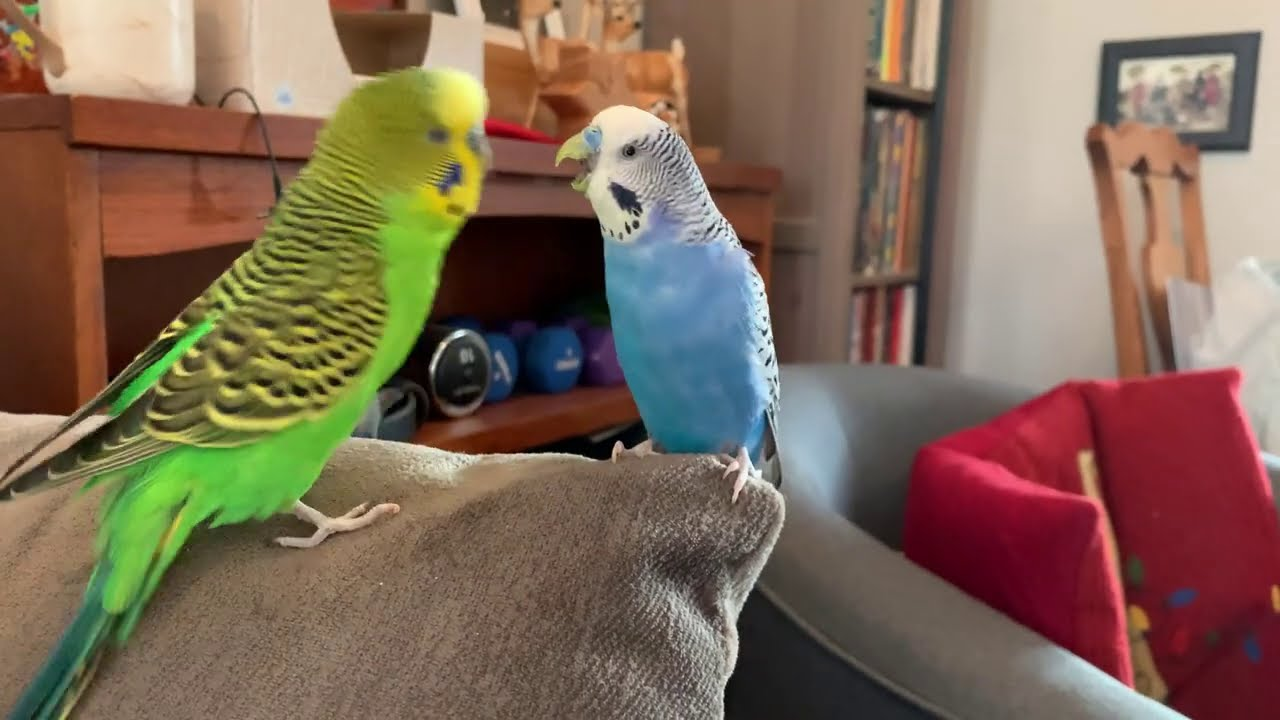 Parakeet Pillow Talk: two parakeets converse and play + NEW PUPPY!
