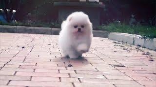 Самые маленькие собаки в мире!
