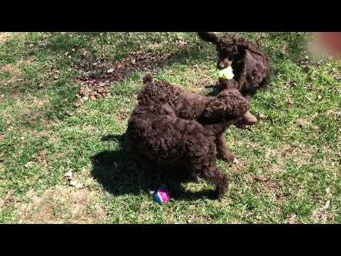 Standard Poodle Puppies Michigan   FunnyDog TV