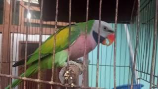 Kicauan Burung Betet Jawa