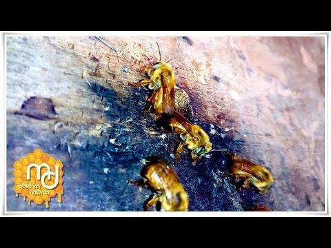 Revisão de Abelha Bugia (Melipona Mondury)