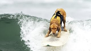 Gambar cover SURFING DOGS ★ Word's Best Surfer Dogs (HD) [Funny Pets]