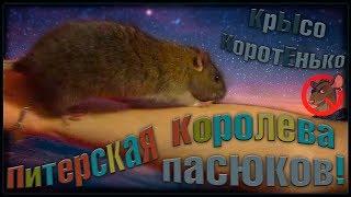 Питер | Крысиная королева пасюков Рада. (Wild Rats | Дикие Крысы)