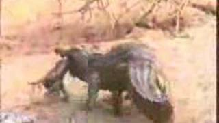 Baboons Save Baby From Crocodile