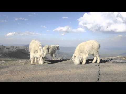 Mountain Goats (Oreamnos americanus) - Mt Evans, Colorado