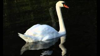 Le Cygne - The Swan - De Zwaan - Carnaval des Animaux