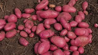 Выращивание картофеля ч. 2. Дачная экспертиза. Выпуск 7