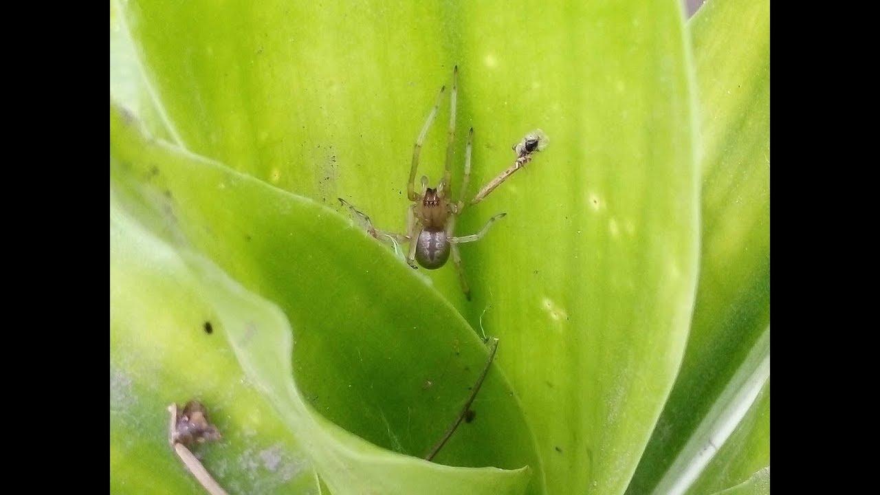 erekciós pók