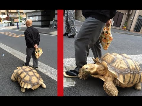 This Man Takes His Giant Tortoise For Walks Through Tokyo As If it Were A Dog