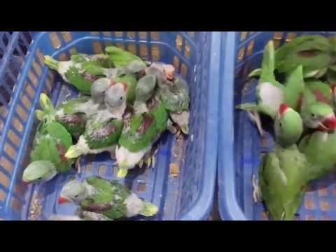 BIRD ZONE KARACHI | Raw parrot chicks full covered & half covered